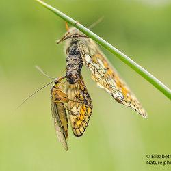Schorpioenvlieg voedt zich met moerasparelmoervlinder