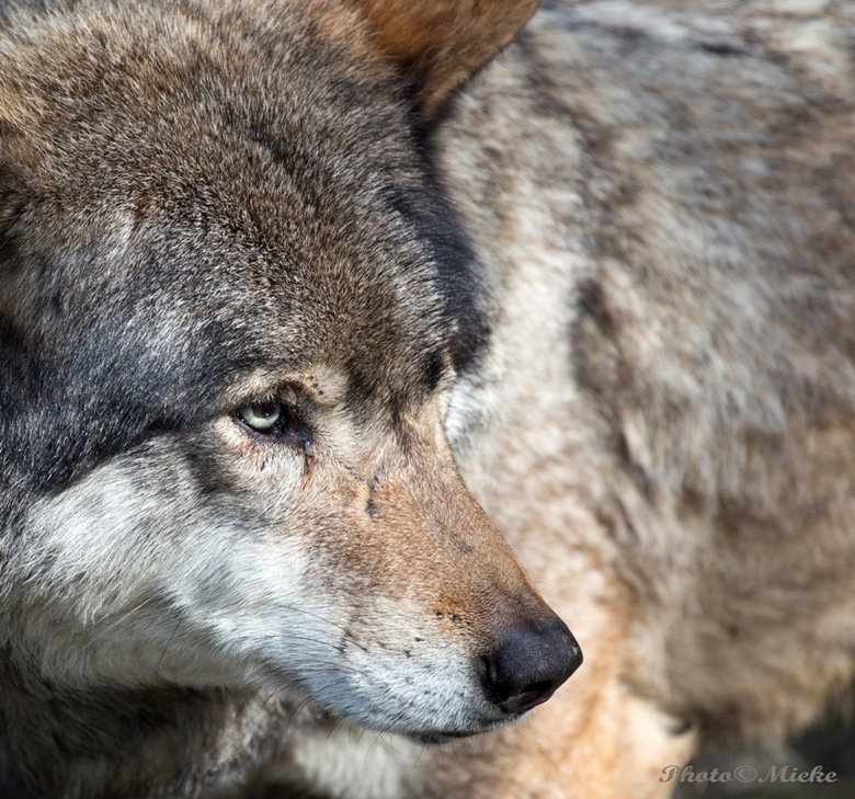 Europese wolf - Europese wolven leven en jagen, net als de anderen, in roedels van familieleden bestaande uit een alpha (de dominante reu), zijn partn