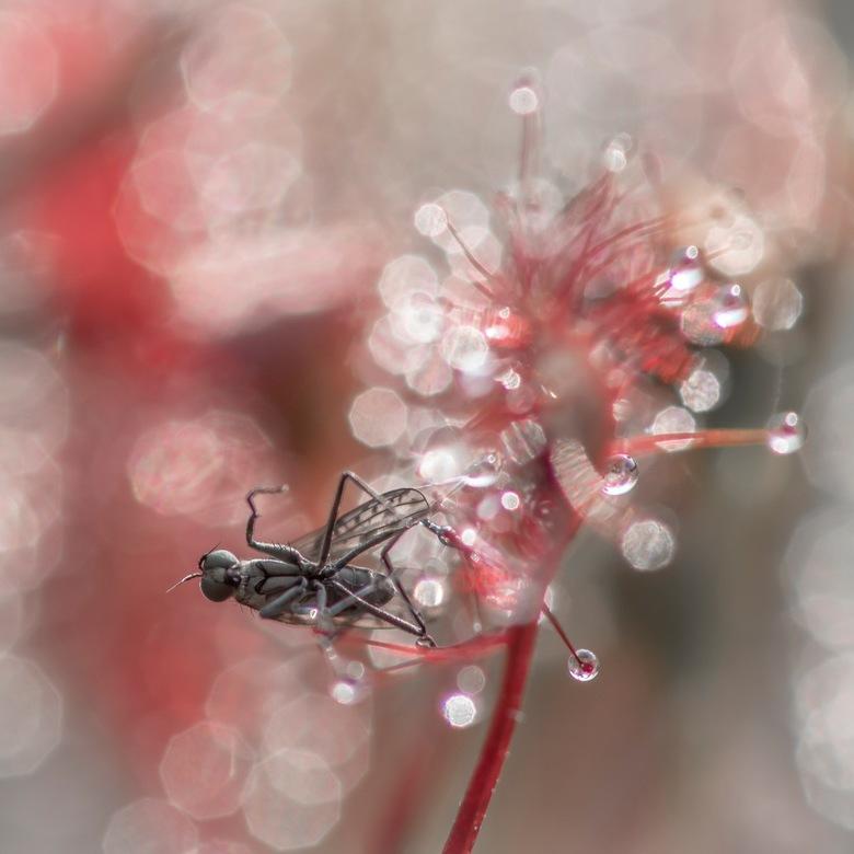 Trapped in a deadly bokeh world. - Het vliegje zit gevangen aan de druppels van het zonnedauw plantje en gaat een langzame dood tegemoet.<br /> <br /