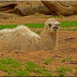 Jonge kameel