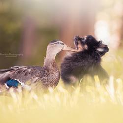 Liefde tussen een eend en een hond