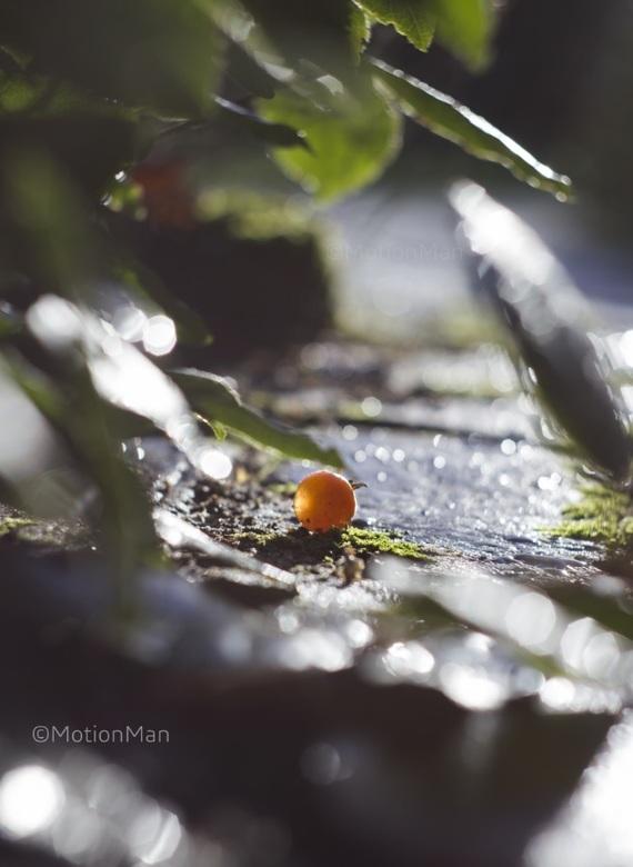 Gevallen - Een tomaatje van een nog overgebleven tomatenplant, gevallen, eenzaam liggend op de grond in de zon.<br /> <br /> 550D &amp; Helios 44M<b