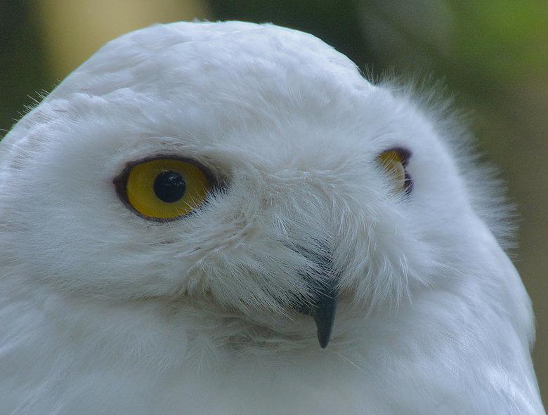 Sneeuwuil (Bubo Scandiacus) - De isolatie die het verenkleed van de sneeuwuil biedt, is buitengewoon ontwikkeld. Om te beginnen is deze vogel bijna ge