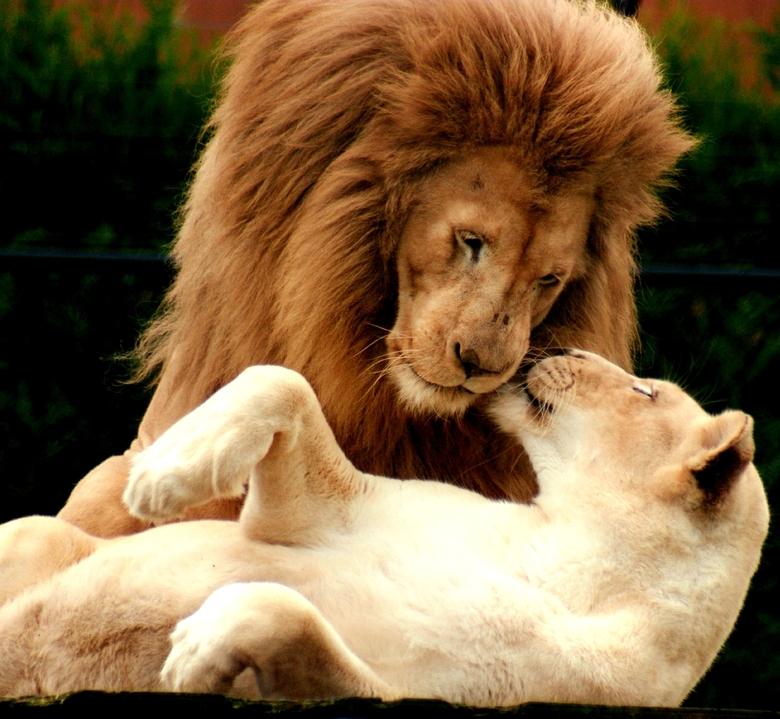 Een stel leeuwen - Ook deze grote sterke jagers hebben een klein hartje