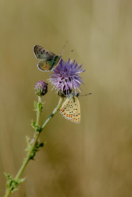 Bruine vuurvlinders - Twee bruine vuurvlinders in een ruig graslandje in Noord-Duitsland.