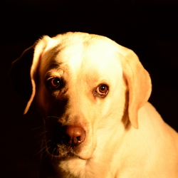 Tara... onze labrador