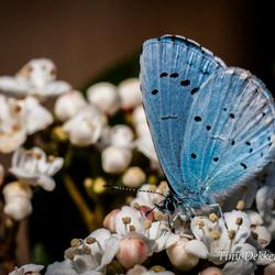 Boomblauw vlinder