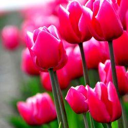 Tulpen uit de Schermer