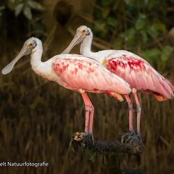 Paartje roze lepelaars bij de Targoles river