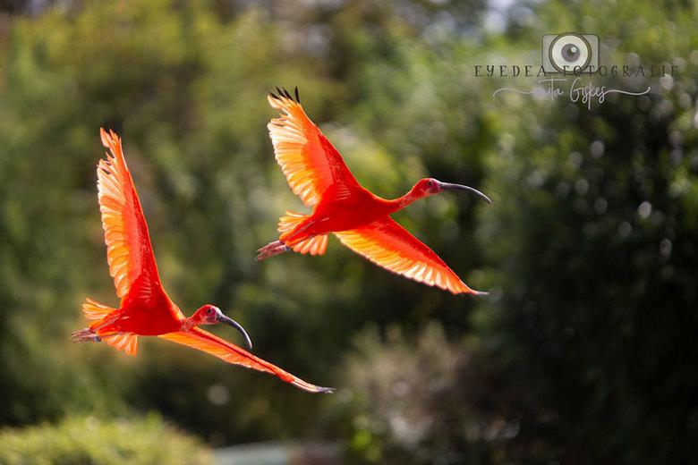 Rode Ibis -