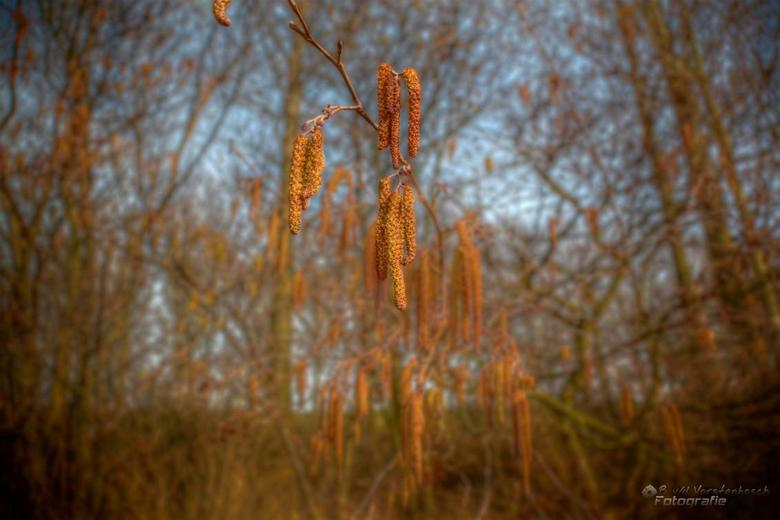 Corylus avellana - 3 shot exposure hdr shot (which was difficult because of the wind)<br /> process in photoshop cs5<br /> and a little touch of viv