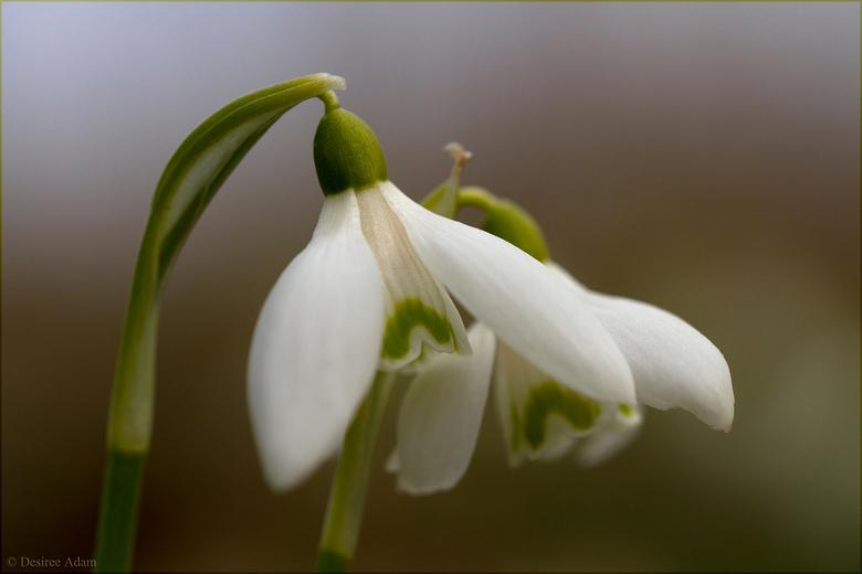Lenteklokjes of sneeuwklokjes - He, lekker om even te zoomen, en te kijken naar allerlei mooie foto&#039;s. <br /> Hier nog wat sneeuw cq lenteklokje