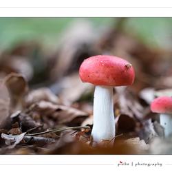 Rode paddenstoel