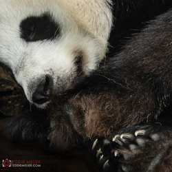 Slapende panda