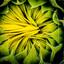 Upcoming Sunflower
