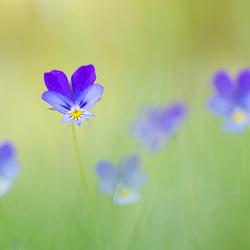Dancing violets