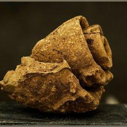 fosiele schelp 2