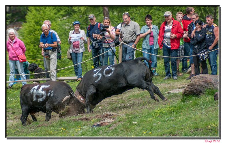 """Kuhkampfe - Ofwel """"les combat des reines"""". Voordat de dieren van verschillende boeren gezamenlijk de alm opgaan moet er natuurlijk eerst wor"""