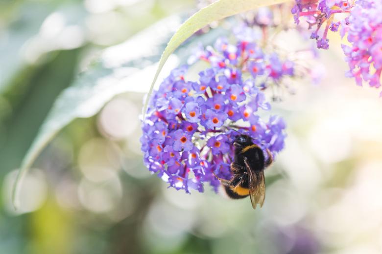 Let it bee! - Op een zonnige dag een bij op een vlinderstruik gefotografeerd.