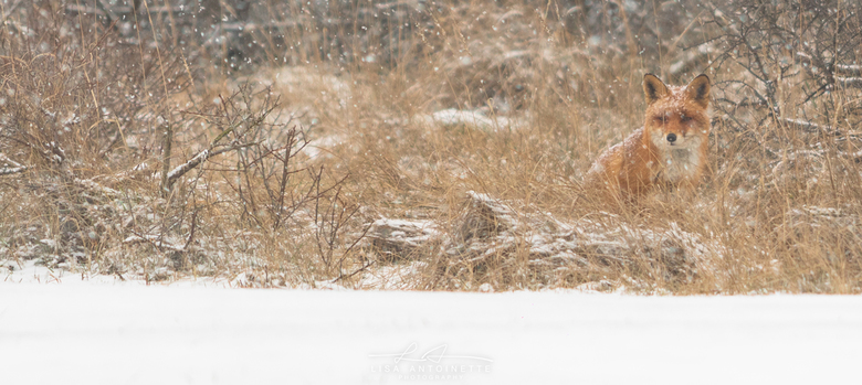 Banjo the red fox - vandaag een dagje naar het awd geweest waarom omdat de sneeuw der aan kwam was een mooie dag