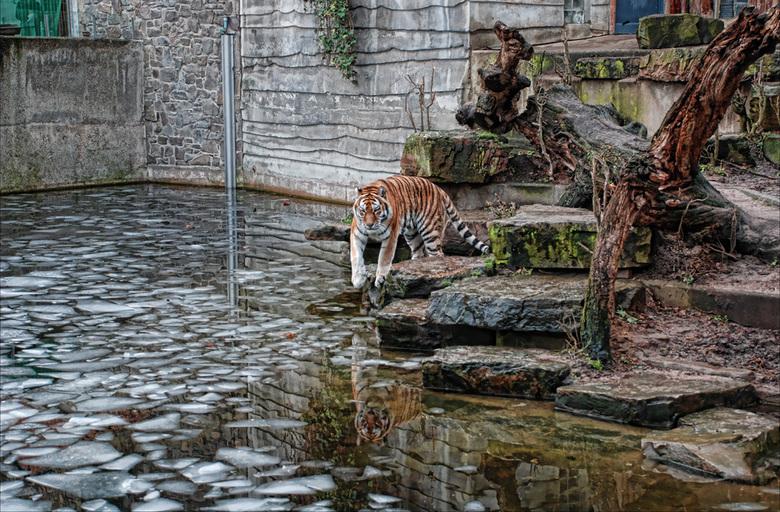 Zoo Antwerpen - De tijger staat min of meer centraal in de foto, maar dit was een bewuste keuze, ik vond het water met zijn weerspiegelingen en het ij