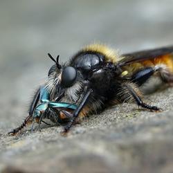 gele hommelroofvlieg met malachietkever