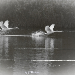 Swans in Sepia