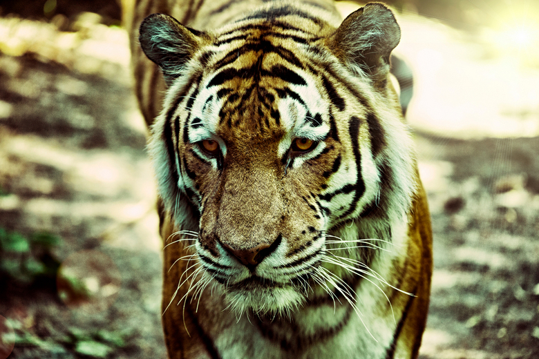 Lao Hu - &#039;An oppressive government is more to be feared than a tiger&#039;<br /> <br /> -Deze foto is gemaakt in Dierenpark Emmen-