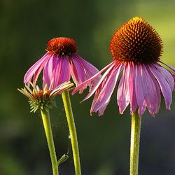 zonnehoedjes - echinacea