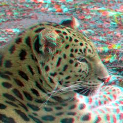 Amur leopard (Amoerpanter) Blijdorp Zoo Rotterdam 3D