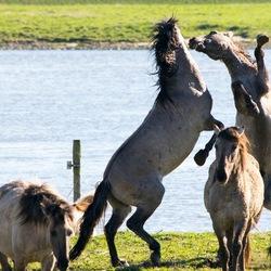Konik paarden in Blauwe kamer