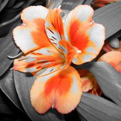 koninginne-bloem :)