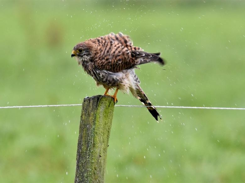 In de regen - Torenvalkje schudt de regendruppels van zich af