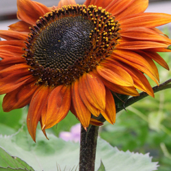 Zonne bloem