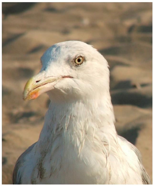 Meeuw die niet bang was - was dagje op het strand. deze durfde wel heel erg dichtbij te komen.