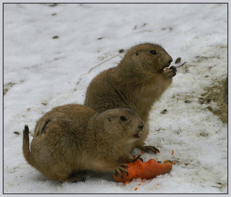 Gezamelijke maaltijd! - Vandaag naar Emmen geweest! Het licht was niet optimaal, maar het klein beejte sneeuw wat bij de Prairiehondjes lag, gaf toch
