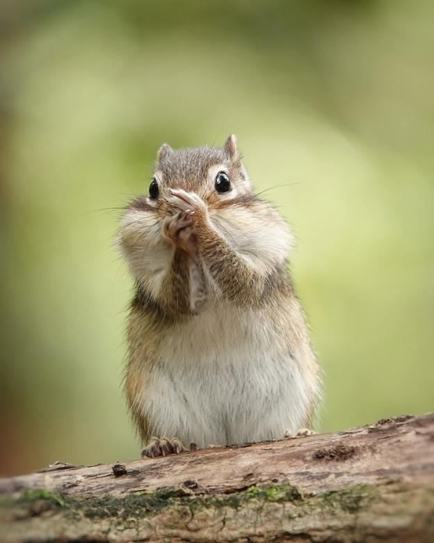 The whistler - Hij zat er zo leuk bij, alsof hij zat te fluiten. In het bos met mooi zacht middaglicht,deze  kleine Siberische eekhoorn.
