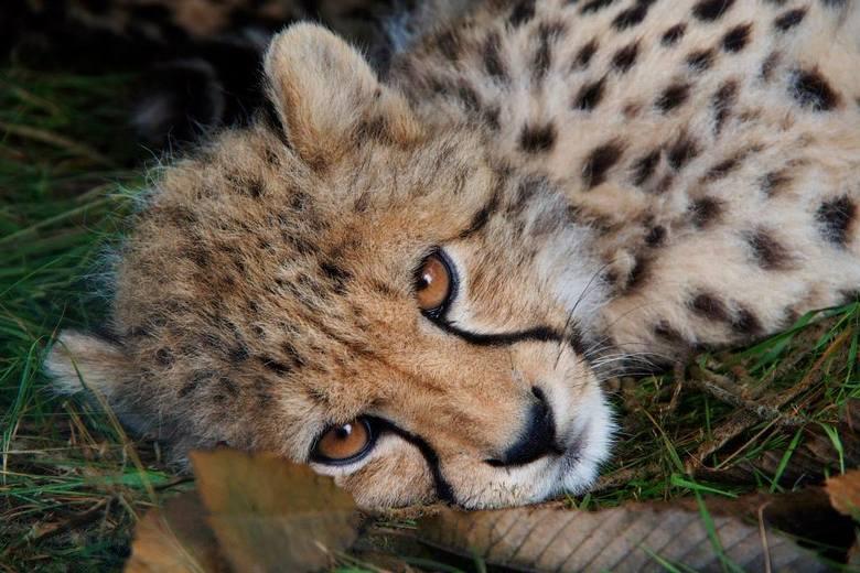 Herfst - Jonge cheetah liggend tussen de herfst bladeren