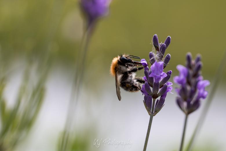 Smullen van de bloem - Ik was al even aan het wachten bij de lavendel tot er een insect langs kwam. En deze ging er vol voor!