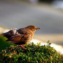 blackbird (f) in winter