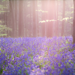 Violet blue bells in magical light