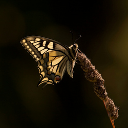Swallow tail backlighted