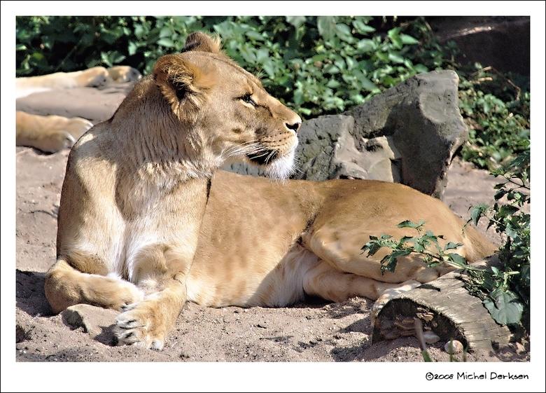 Loom, maar alert. - Artis Amsterdam, waar de leeuwenkuil de aandacht blijft trekken...<br /> Lekker loom in het zonnetje, maar ook weer alert zodra e