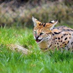 Hongerige jonge serval kat