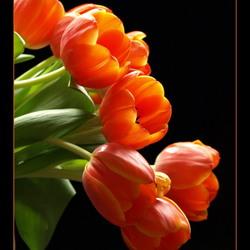tulpenregen