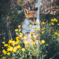 Flowers & Foxes.