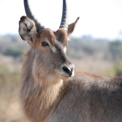 Waterbok in Zuid-Afrika