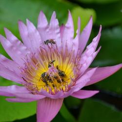Wespen in lelie