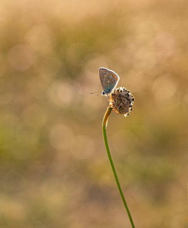 """Icarusje - We blijven nog maar even """"vlinderen"""" om de nu donkere uurtjes buiten te overbruggen. Was even draaien en keren en wat Engels gras"""