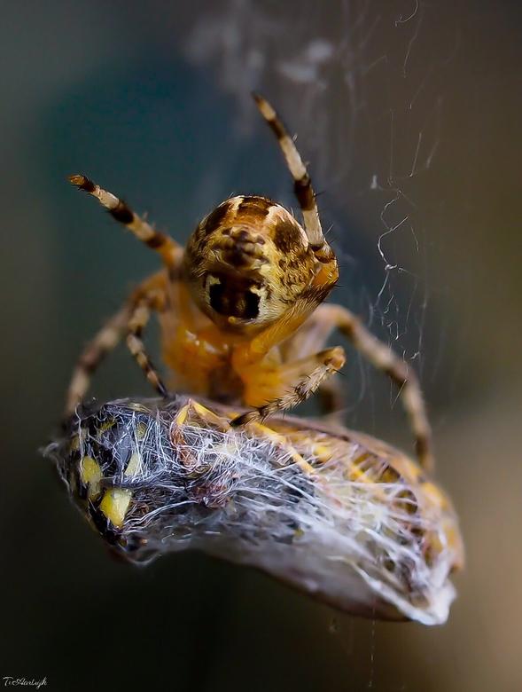Gevangen. - Dit spinnetje heeft zijn maaltijd gevangen!<br /> Heel bijzonder om te zien hoe spinnen hun prooi als het ware 'inpakken'. <br /> En nat